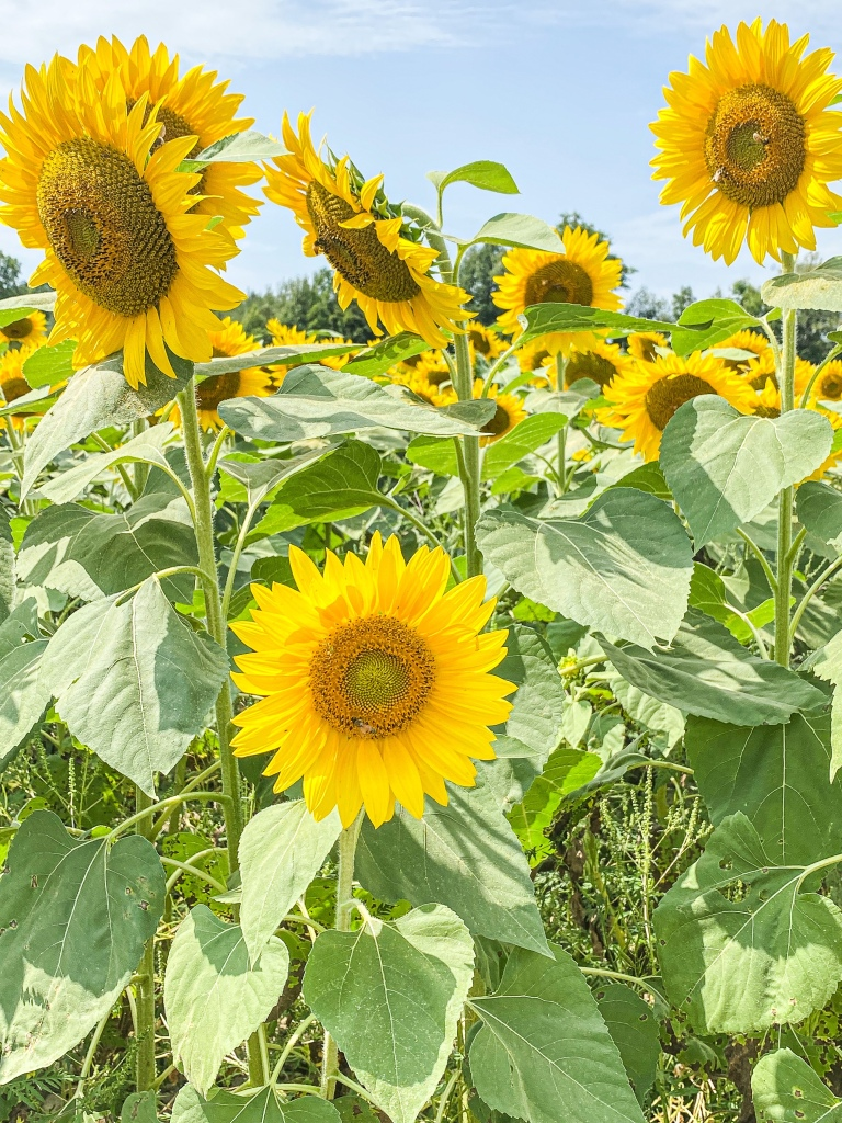 Sunflower Quotes - Unwavering and Faithful...like sunflower to the Sun