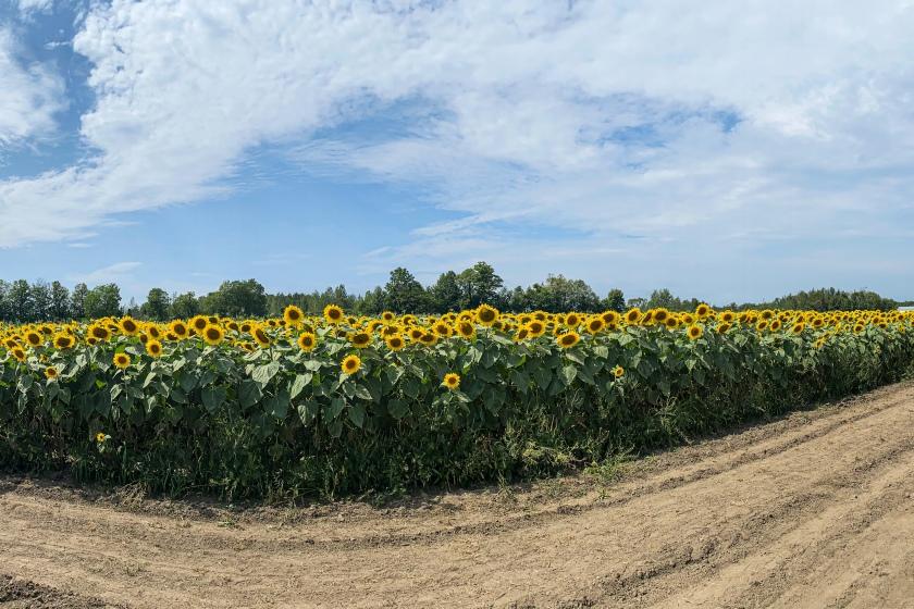 New Market Sunflower Farm
